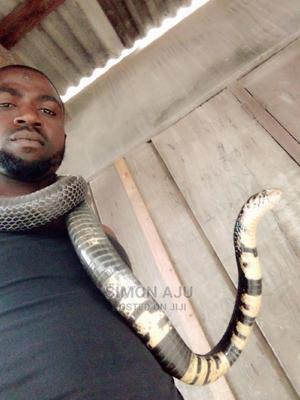Cobra Snake | Reptiles for sale in Ogun State, Ewekoro
