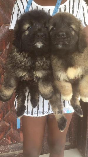 1-3 month Female Purebred Caucasian Shepherd   Dogs & Puppies for sale in Oyo State, Ibadan