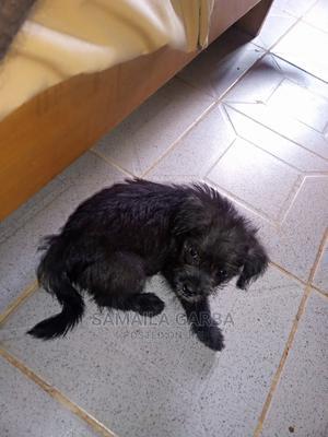 1-3 Month Male Purebred Lhasa Apso   Dogs & Puppies for sale in Kaduna State, Kaduna / Kaduna State