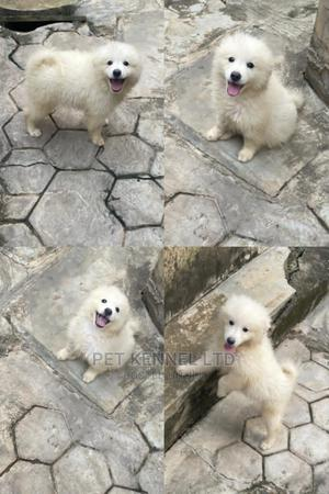 3-6 Month Female Purebred American Eskimo | Dogs & Puppies for sale in Lagos State, Isolo