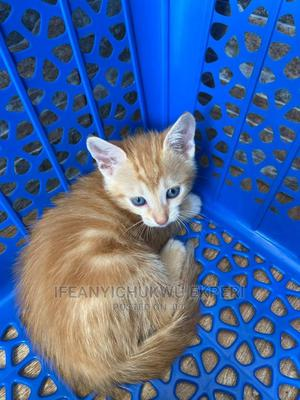 0-1 Month Female Purebred Cat | Cats & Kittens for sale in Abuja (FCT) State, Jabi