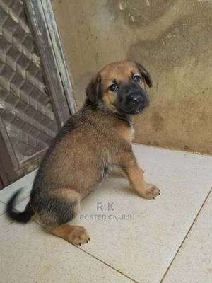 0-1 Month Female Purebred German Shepherd   Dogs & Puppies for sale in Lagos State, Ikoyi