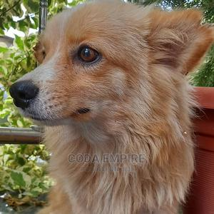 3-6 Month Male Purebred Pomeranian | Dogs & Puppies for sale in Abuja (FCT) State, Nyanya