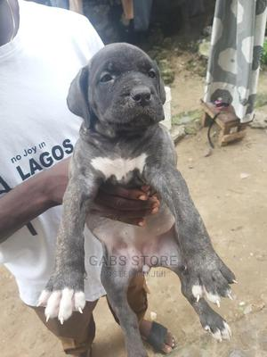 1-3 Month Female Purebred Boerboel | Dogs & Puppies for sale in Lagos State, Ojo