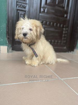 3-6 Month Male Purebred Lhasa Apso | Dogs & Puppies for sale in Ekiti State, Ado Ekiti