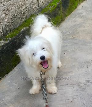 3-6 Month Male Purebred Lhasa Apso   Dogs & Puppies for sale in Lagos State, Ipaja