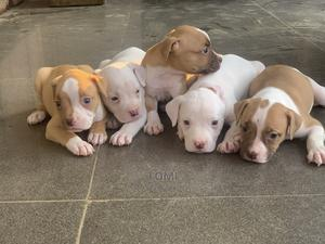 1-3 month Female Purebred American Pit Bull Terrier   Dogs & Puppies for sale in Lagos State, Ikorodu