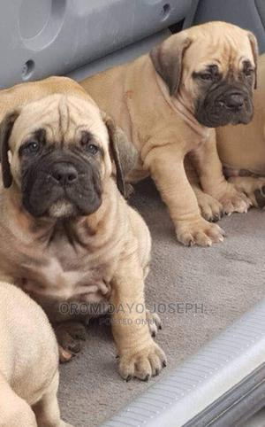 1-3 Month Female Purebred Boerboel   Dogs & Puppies for sale in Edo State, Okada