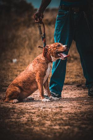1+ Year Male Purebred American Pit Bull Terrier | Dogs & Puppies for sale in Lagos State, Ajah