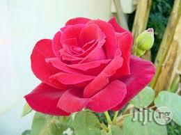 Rose Flower Seedling Plant | Garden for sale in Plateau State, Jos