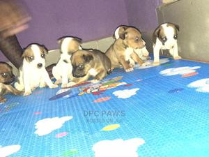 0-1 Month Female Purebred American Pit Bull Terrier   Dogs & Puppies for sale in Lagos State, Abule Egba