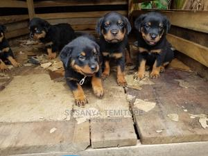 0-1 Month Female Purebred Rottweiler   Dogs & Puppies for sale in Lagos State, Abule Egba