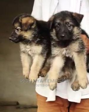 0-1 Month Female Purebred German Shepherd   Dogs & Puppies for sale in Lagos State, Surulere