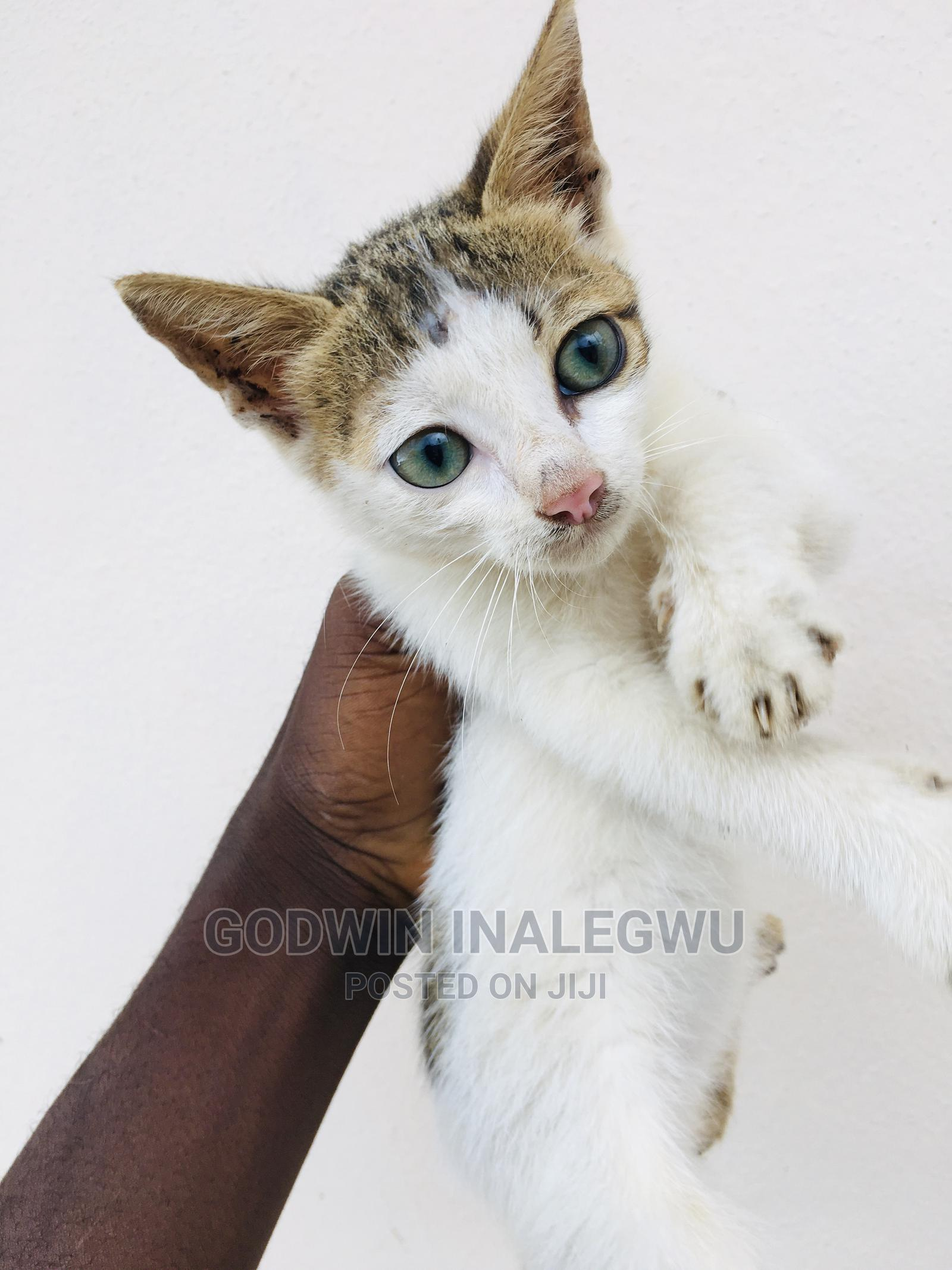 1-3 Month Female Purebred American Wirehair