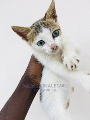 1-3 Month Female Purebred American Wirehair | Cats & Kittens for sale in Abuja (FCT) State, Wuse 2