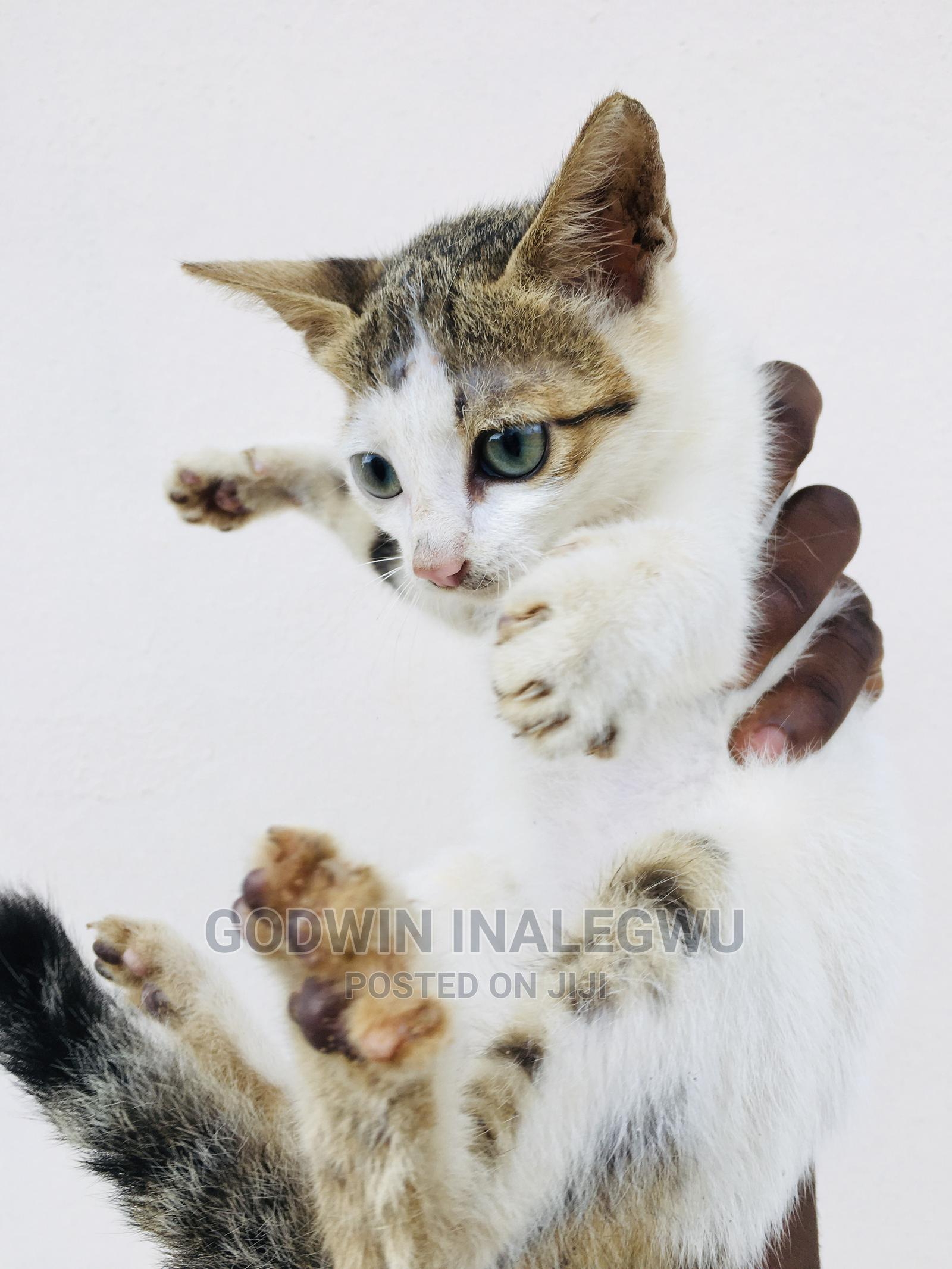 1-3 Month Female Purebred American Wirehair | Cats & Kittens for sale in Wuse 2, Abuja (FCT) State, Nigeria