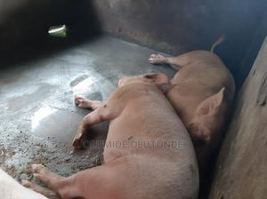 Pure Large White Breeding Boar for Sale 230kg Plus | Livestock & Poultry for sale in Ogun State, Ifo