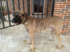 1+ Year Male Purebred Boerboel | Dogs & Puppies for sale in Lagos State, Ipaja