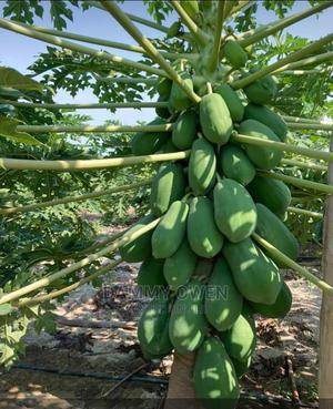 Paw Paw Nuture Maradona Dwarf | Feeds, Supplements & Seeds for sale in Ogun State, Odeda