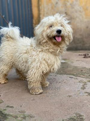 1+ Year Male Purebred Lhasa Apso | Dogs & Puppies for sale in Lagos State, Ajah