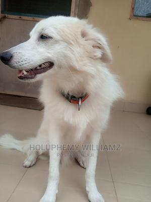 3-6 Month Male Purebred American Eskimo | Dogs & Puppies for sale in Lagos State, Kosofe