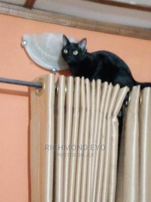3-6 Month Male Purebred American Shorthair | Cats & Kittens for sale in Lagos State, Isolo