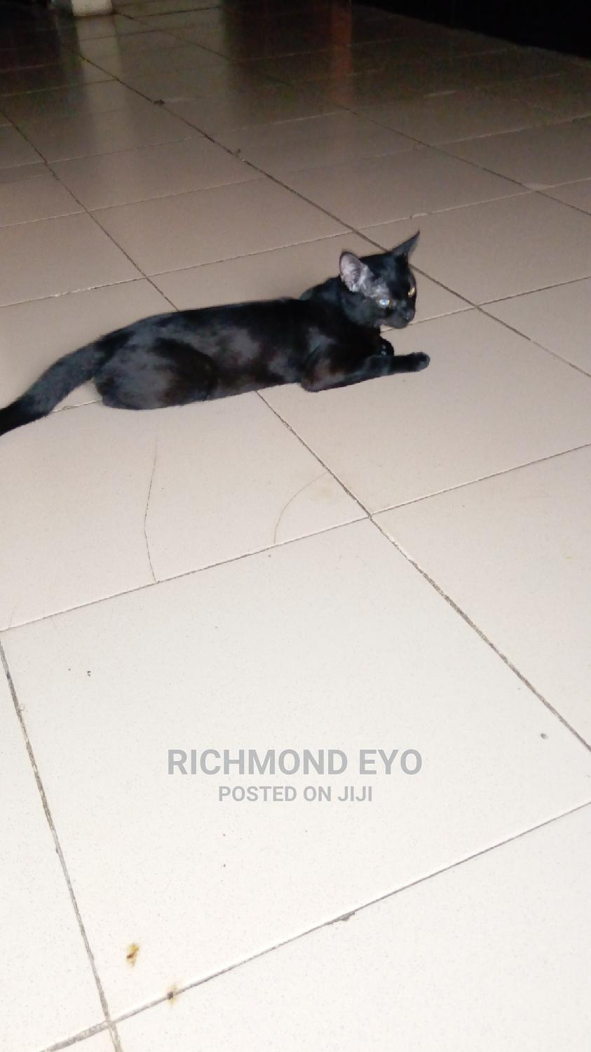 3-6 Month Male Purebred American Shorthair | Cats & Kittens for sale in Isolo, Lagos State, Nigeria