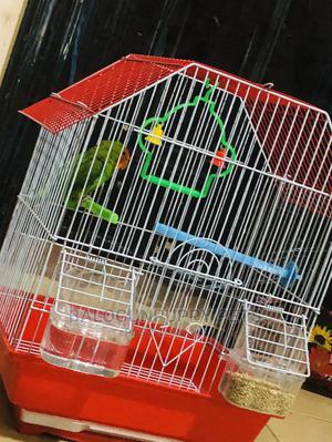 Lovebird for Sale | Birds for sale in Ogun State, Ijebu Ode