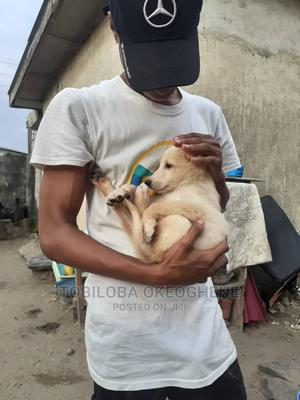 1-3 Month Male Mixed Breed Caucasian Shepherd   Dogs & Puppies for sale in Lagos State, Ojo
