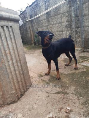 1+ Year Female Purebred Rottweiler | Dogs & Puppies for sale in Ekiti State, Ado Ekiti