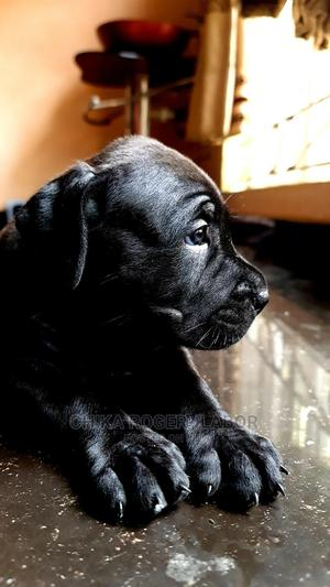 1-3 Month Female Purebred Boerboel | Dogs & Puppies for sale in Lagos State, Amuwo-Odofin
