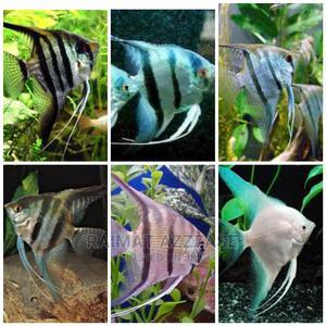 Aquarium Angle Fish | Fish for sale in Lagos State, Surulere