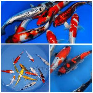 Japanese Koi Fish for Aquarium   Fish for sale in Lagos State, Surulere