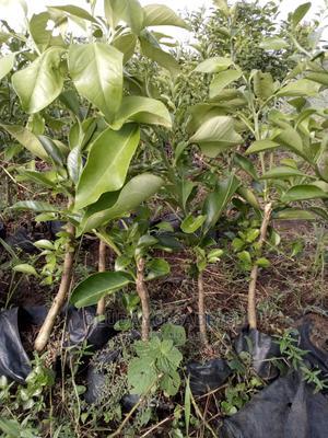 Citrus (Oranges) Seedlings for Sale   Feeds, Supplements & Seeds for sale in Ogun State, Sagamu