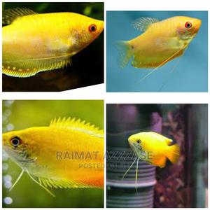 Yellow Gourami | Fish for sale in Lagos State, Surulere