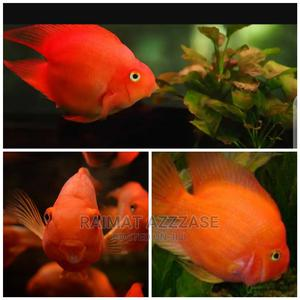 Parrot Fish | Fish for sale in Lagos State, Surulere