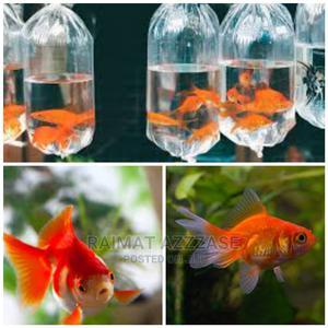 Gold Fish Aquarium Fish | Fish for sale in Lagos State, Surulere