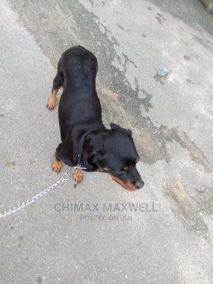 1+ Year Female Purebred Rottweiler   Dogs & Puppies for sale in Rivers State, Port-Harcourt
