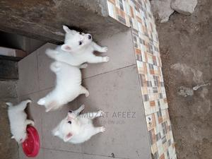 0-1 Month Female Purebred American Eskimo   Dogs & Puppies for sale in Oyo State, Ibadan