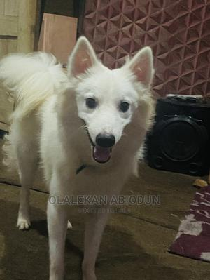 6-12 Month Male Purebred American Eskimo | Dogs & Puppies for sale in Ogun State, Abeokuta South