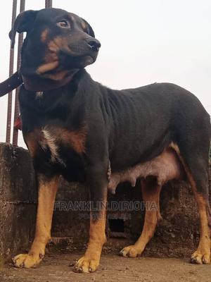 1+ Year Female Purebred Rottweiler | Dogs & Puppies for sale in Enugu State, Enugu