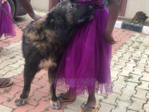 1+ Year Male Purebred Caucasian Shepherd   Dogs & Puppies for sale in Lagos State, Agege
