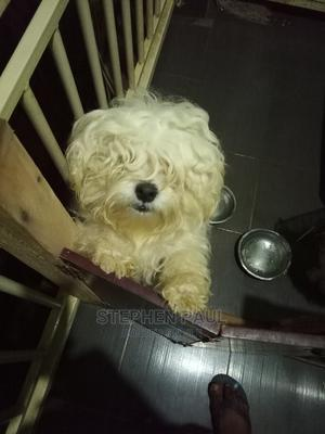1+ Year Male Mixed Breed Lhasa Apso | Dogs & Puppies for sale in Abuja (FCT) State, Lokogoma