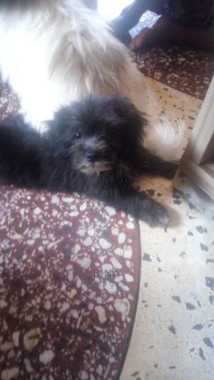1-3 month Male Purebred Lhasa Apso | Dogs & Puppies for sale in Lagos State, Shomolu