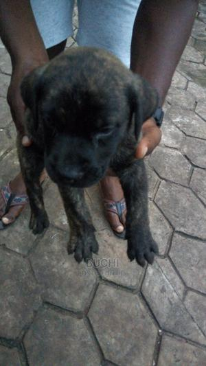 1-3 Month Male Mixed Breed Mastiff | Dogs & Puppies for sale in Enugu State, Enugu