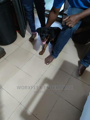 3-6 Month Male Purebred Rottweiler | Dogs & Puppies for sale in Lagos State, Lagos Island (Eko)