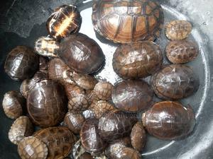 Turtles Available for Sale | Reptiles for sale in Abuja (FCT) State, Gwagwalada