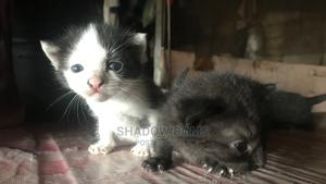 0-1 Month Female Purebred Manx | Cats & Kittens for sale in Rivers State, Port-Harcourt