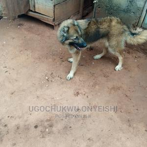 3-6 Month Female Purebred Caucasian Shepherd | Dogs & Puppies for sale in Kogi State, Idah