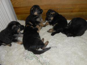 0-1 Month Female Purebred German Shepherd   Dogs & Puppies for sale in Ogun State, Ifo